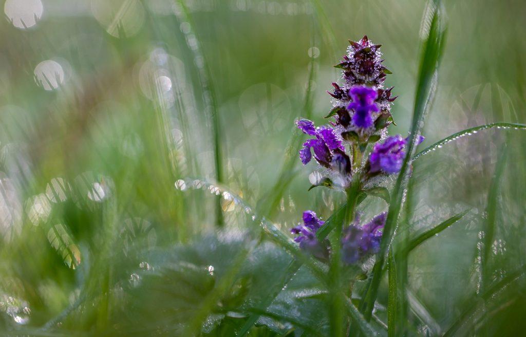Bugleweed Flower Dew Dewdrops  - Pat_Scrap / Pixabay