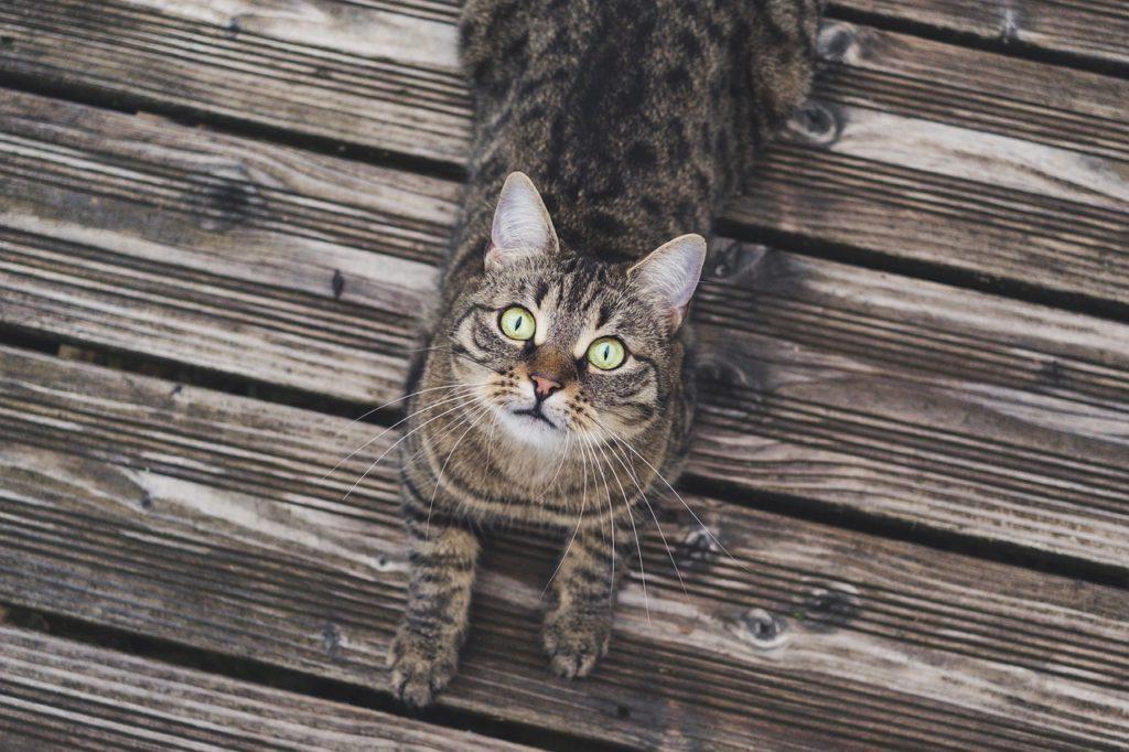 Cat Wood Tabby Pet Cat S Eyes  - miezekieze / Pixabay