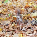 Squirrel Pet The Fur Red  - 15496251 / Pixabay